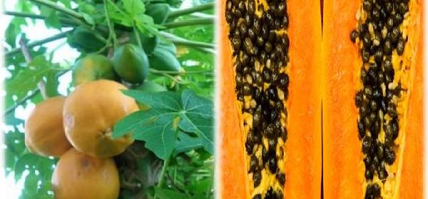 beneficios-para-la-salud-de-la-papaya-111